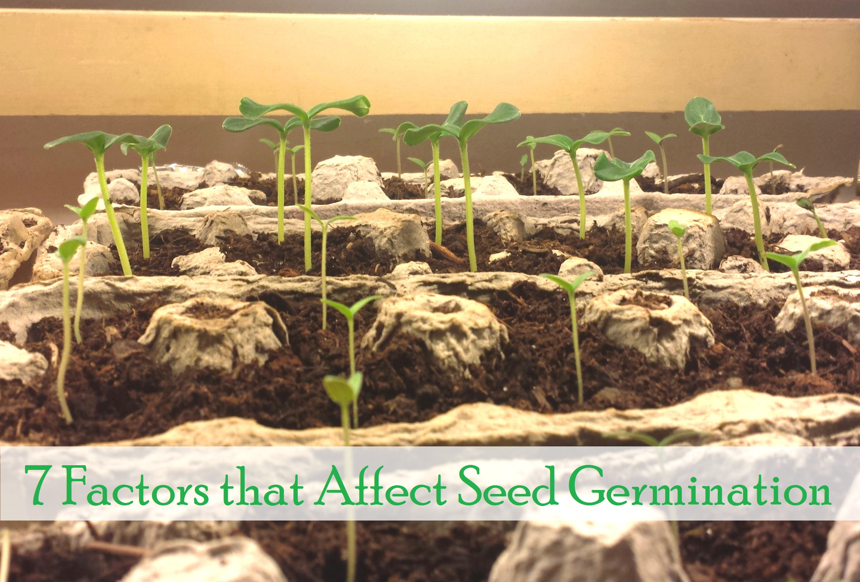 Germinated grain - who will benefit, and who only hurt